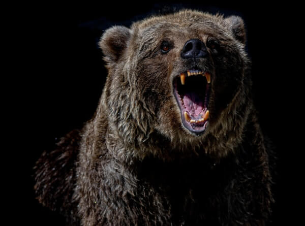 Grizzly bear angry